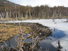 Image of beaver dam near Ushuaia, Argentina.