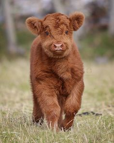 """74.4k Likes, 1,218 Comments - EARTHOFFICIAL (@earthofficial) on Instagram: """"Close up with a Highland Cattle Calf 