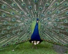I wanna see your peacock-ock-ock, his peacock-ock-ock!!! Are u brave enough? Come on boy! @katie mink! Bhahahahagaga