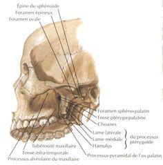 #Ostéologie  Crâne et vertèbres cervicales: vue latérale #DZdentists