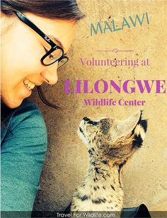 Volunteering in Malawi with Wildlife.  Have the experience of a lifetime by volunteering at the Lilongwe Wildlife Center where you can help rescued wildlife and release them back into the wild, where they belong.