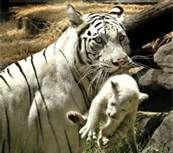 Bali Tiger - Bing Images