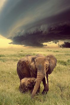 """Elephant Mom ~ With Her Calf: """"Ahead of The Storm..."""" (Photo By: Sapere Aude.)"""