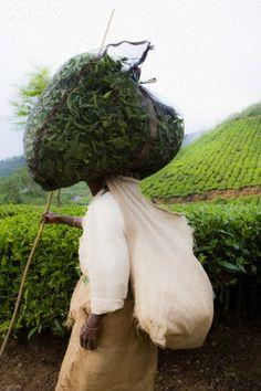 INDIA - HARVESTING TEA LEAVES