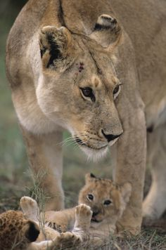 A Lioness Standing Over One of Her Cubs.