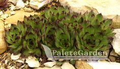 Sempervivum-tectorum1 Aloe, Detox, Succulents, Garden, Plants, Garten, Succulent Plants, Gardens, Planters