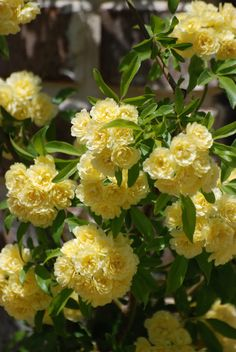 Lady Banks Roses - These lined the alley behind the house I grew up in. So fragrant! I was scared of the bees, though...