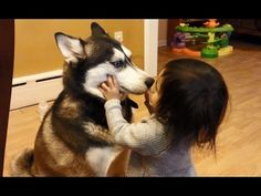 Funny Siberian Husky Video - Siberian Husky dogs playing with cat door - YouTube
