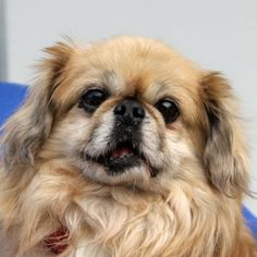 Meet Kumar a Petfinder adoptable Pekingese Dog Unusual Buildings, Pekingese Dogs, Lion Dog, Unusual Homes, Rainbow Bridge, Poodles, Auburn, Dog Pictures, Doggies