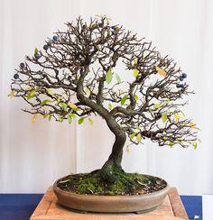 Schlehe (Prunus spinosa) auf der Bundesausstellung in Mannheim 2014