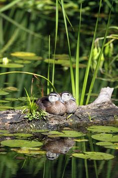 Wood ducks.