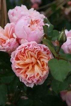 Hybrid Tea Rose: Rosa 'Alexandrine' (France, before 2009)