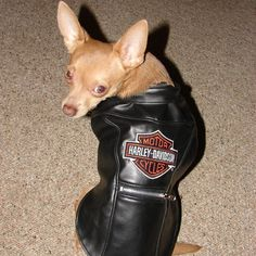 Does your dog have what it takes to be a Harley Davidson Dog?