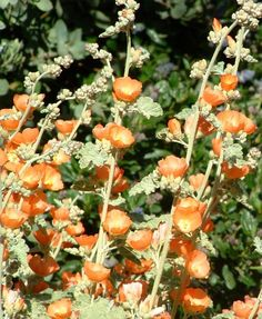 Just bought one of these at The Living Desert nursery in Palm Springs and I am nerdily excited about it! Sphaeralcea ambigua, Desert Mallow (CA native, blooms in June)