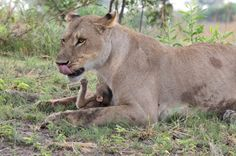 A lioness kills a baboon, only to discover it was a mother, and protects and cares for the baby herself.