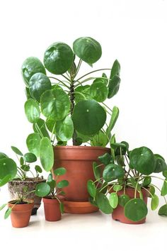 How Japanese Interior Layout Could Boost Your Dwelling Proud Pilea Mother Plant. Figure out How To Propagate Your Pilea Peperomioides Plant, And Grow New Plants To Share With Friends And Family. Big Plants, Exotic Plants, Garden Plants, Indoor Plants, Indoor Garden, Shade Plants, Herb Garden, Growing Flowers, Planting Flowers