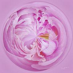 Amazing Circle - Peony, Pink.  Copyright Nancy Kirkpatrick Photography