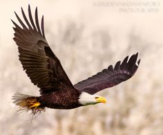 A male Bald Eagle retrieves nesting material at the Ridgefield NWR in Washington state, USA.