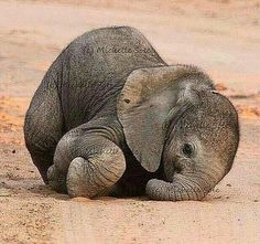 """""""Nose-planting"""" or """"face-planting"""" is to be expected until baby learns how to control her trunk. (photo by Michelle Sole) <3"""