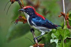 Dicaeum cruentatum, The Scarlet-backed Flowerpecker