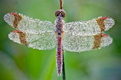 Dew Laden Dragonfly