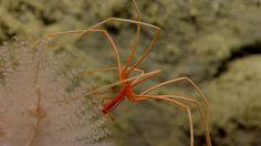 Strange deep-sea creatures. A seaspider, or pycnogonid, seen while exploring Oceanographer Canyon. (Credit: Image courtesy of NOAA Okeanos Explorer Program, 2013 Northeast U.S. Canyons Expedition.)