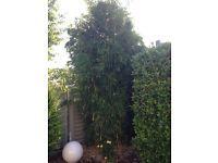Bambus (echte japanische Bambuszucht) Niedersachsen - Weyhe Vorschau