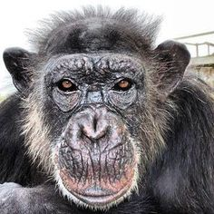 SAVE THE CHIMPS--Check out and become a fan of this great organization!