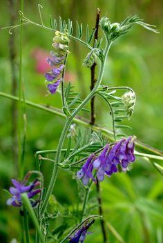 Fioletowe kwiatki. Wyka ptasia (Vicia cracca) i mrówka (sm)