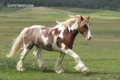 Skewbald horse.  A skewbald horse has a coat made up ofwhitepatches on a non-blackbase coat, such aschestnut, bay, or any colour besidesblackcoat. Skewbald horses which are bay andwhite(bay is a reddish-browncolour withblackmane and tail) are sometimes called tricoloured.