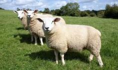 Great Lakes/New England Sheep Blend