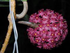 Hoya Glabra (Flor de cera)