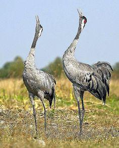 Hungarian Cranes=Daru bird, in Hungarian National Park Beautiful Birds, Animals Beautiful, Crane Bird, Exotic Birds, Budgies, Flora And Fauna, Bird Feathers, Cover Photos, Hungary