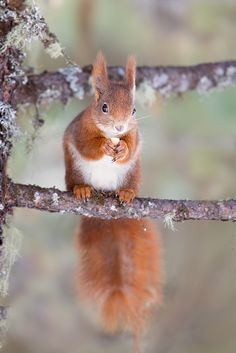 Red squirrel by Stefano Ronchi