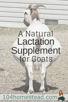 Milk Money is an herbal goat treat that offers lactation support for those that aren't milking well due to illness, a bad birthing, or some other reason.