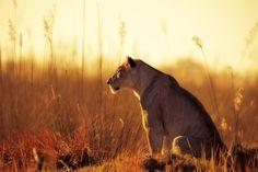 lioness animals
