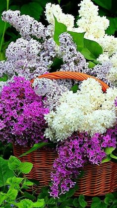 Shades of the Lilac Lilac Flowers, Exotic Flowers, Colorful Flowers, Beautiful Flowers, Spring Garden, Trees To Plant, Mother Nature, Planting Flowers, Flower Arrangements