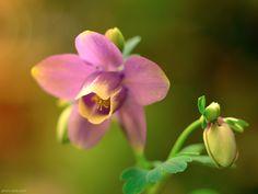 عکس بسیار زیبا و خوشگل از گل ارغوانی