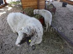 Video about Sheep and lamb near goat separated in a fold. Video of domestic, baby, agriculture - 90223855 Sheep And Lamb, Agriculture, Goats, Royalty Free Stock Photos, Animals, Animales, Animaux, Animal Memes, Animal
