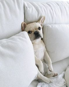 """""""So this happened"""", Theo the French Bulldog, @theobonaparte"""
