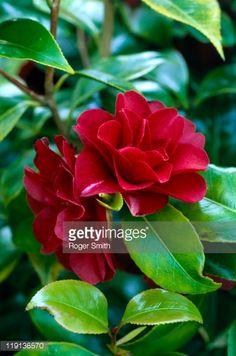 Stock-Foto : Camellia japonica 'Konronkoku' ('Nigra'), red flowers and evergreen leaves, close-up