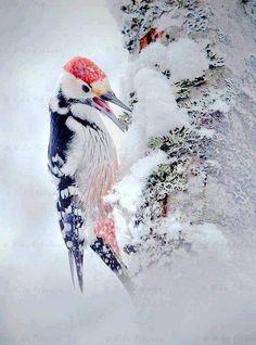 SNOWY SCENE White-backed woodpecker (Dendrocopos leucotos) foraging on snowy tree trunk. Finland, by Niko Pekonen Pretty Birds, Love Birds, Beautiful Birds, Animals Beautiful, Nature Animals, Animals And Pets, Cute Animals, Bird Pictures, Animal Pictures