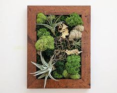 Framed Desktop Garden with Three Air Plants, Reindeer Moss and Lichen Measures inside window Your choice of 5 frame colors: Warm Maple, Black, Natural or Barnwood Grey. Please see our other framed Hanging Air Plants, Fake Plants Decor, Plant Decor, Plant Wall, Rustic Fireplace Mantels, Moss Wall, Air Plant Terrarium, Wood Plaques, Shades Of Green