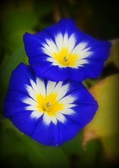 ~~Ensign Blue Morning Glory by Nate A~~