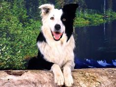 Best representation descriptions: Dog Border Collie Puppies Related searches: Dog Wallpaper,Cat Wallpaper,Cats and Dogs Wallpaper,Paw Print. Border Collie Welpen, Perros Border Collie, Border Collie Puppies, Collie Dog, Border Collies, Norfolk Terrier, Norwich Terrier, Dog Breeds Pictures, Dog Photos