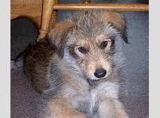 Berger Picard Dog for Adoption - Bing images