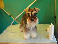 Schnauzer ready to show... I want a mini one too freaking cute