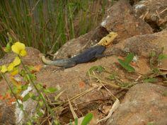 Lizard in The Gambia