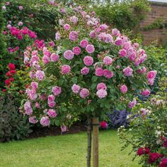 Most Fragrant Climbing Rose | Harlow Carr - Most Fragrant - Popular Searches