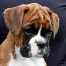 "Receive fantastic recommendations on ""boxer puppies"". They are offered for you on our website. Boxer And Baby, Boxer Love, Cute Puppies, Cute Dogs, Dogs And Puppies, Doggies, Beautiful Dogs, Animals Beautiful, Boxer Dog Puppy"